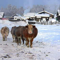 Cows in Tomtor